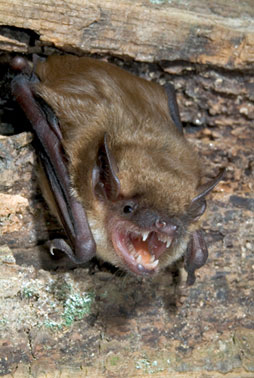 We provide Bat Control, from chimney's to attics.