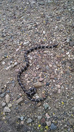 Buckeye Snake Control by the leading humane trappers that will remove and control the dangerous pest.  Arizona Wildlife Control Serves the metro area.