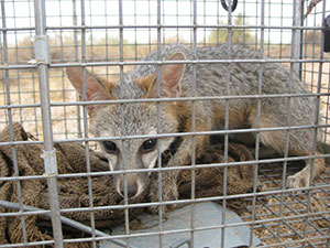 Humane Professional Fox Removal, Control, and Trapping services available for hire in Ahwatukee, Arizona.