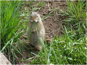 Phoenix Gopher Removal services in Arizona.