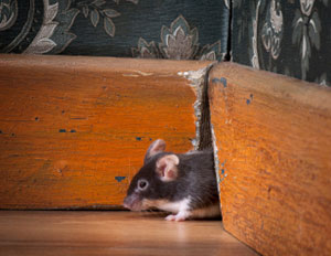 Mice Removal, Rodent Control, Mouse in Attic in Chandler, Arizona.  Call (602) 618-0284 today!