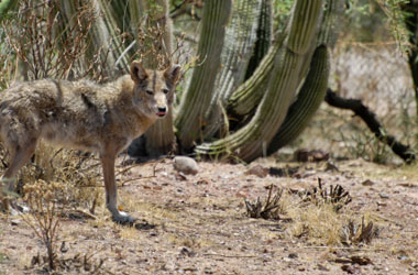 Surprise Coyote Trapping & Humane Removal.  Don't let these animals get near your children or pets!  Call 602-618-0284 today and get professional service from Arizona Wildlife Control!