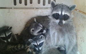 Sun City Raccoon Removal & Control in Arizona.  Serving the Valley area, 24 hours a day.