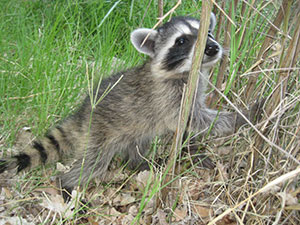 Fountain Hills Raccoon Removal & Control in Arizona.  Serving the Valley area, 24 hours a day.