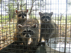 Surprise Raccoon Removal & Control in Arizona.  Serving the Valley area, 24 hours a day.