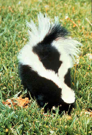 Skunk removal & control services in Mesa, AZ.  We are Arizona Wildlife Control!  Call today at 602-618-0284 to get help now, before the odor becomes a serious problem and property damage occurs!