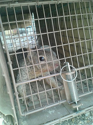 Glendale Squirrel Removal & Control in Arizona.  We use humane trapping practices to capture and remove the critter from your home or business.  Serving the Sun Valley Metro area 24 hours a day, 7 days a week.  Call 602-618-0284 today!