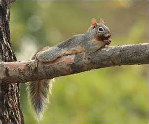 Peoria Squirrel Removal & Control in Arizona.  We use humane trapping practices to capture and remove the critter from your home or business.  Serving the Sun Valley Metro area 24 hours a day, 7 days a week.  Call 602-618-0284 today!