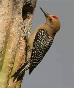 Arizona Bird Control, Woodpecker & Pigeon Removal Services in the metro area.